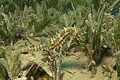 Jayakar's Seahorse (Hippocampus jayakari) in sea grass, Marsa Alam, Red Sea, Egypt, Africa