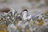 South American tern (Sterna hirundinacea), Sea lion island, Falkland, January 2018