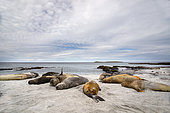Southern Sea elehants (Mirounga leonina) basking on a beach in Sea lion island, Falkland, January 2018