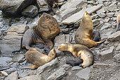 Southern sea lion family, Sea lion island, Falkland, January 2018