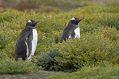 Gentoo penguin walking among Yellow daisies, Sea Lion island, Falkland, January 2018