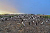 Gentoo penguin (Pygoscelis papua) colony at dawn, Sea Lion, Falkland, January 2018