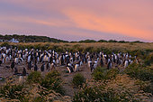 Gentoo penguin nesting colony at dawn, Sea lion island, Falkland, January 2018