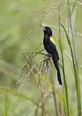Yellow-mantled widowbird (Euplectes macroura) Gabon, central Africa.