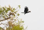 Black-casqued Hornbill (Ceratogymna atrata) in flight, Loango National Park, Gabon.