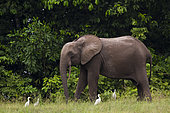 African forest elephant (Loxodonta cyclotis) with Cattle Egrets (Bubulcus ibis), Loango National Park, Gabon.