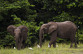 African forest elephants (Loxodonta cyclotis) with Cattle Egrets (Bubulcus ibis), Loango National Park, Gabon.