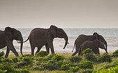 African forest elephant (Loxodonta cyclotis) family group at beach, Loango National Park, Gabon.