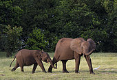 African forest elephant (Loxodonta cyclotis) mother and young, Loango National Park, Gabon.