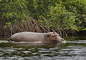 Hippopotamus (Hippopotamus amphibius) emerging from mangroves, Loango National Park, Gabon, central Africa