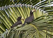 African Pied Hornbill (Lophoceros fasciatus) pair, Loango National Park, Gabon, central Africa.
