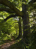 English or Common Oaks (Quercus robur) on public footpath, High Weald AONB, West Sussex, UK. May