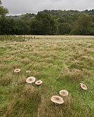 Parasol Mushroom (Macrolepiota procera) section of fairy ring, West Sussex, England, United Kingdom