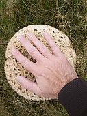 Coulemelle (Macrolepiota procera), grande espèce de champignon comestible qui peut mesurer 40 cm de diamètre. octobre 2019, West Sussex, Angleterre,