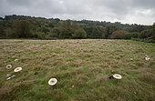 Parasol Mushroom (Macrolepiota procera) large fairy ring, West Sussex, England, United Kingdom