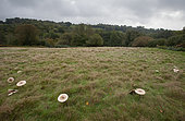 Coulemelle (Macrolepiota procera), grand cercle de fées, West Sussex, Angleterre