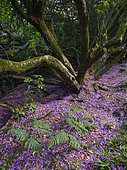 Rhododendron blossom carpets the forest floor in woodland near Kew gardens Wakehurst, Ardingly, West Sussex, England, United Kingdom. June 2020