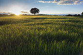 Field of barley at sunset, near Stopham, South Downs National Park, West Sussex, England, UK. June