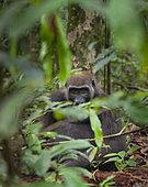 Western lowland Gorilla (Gorilla gorilla gorilla) blackback male of the Atananga group, Loango National Park, Gabon, central Africa. Critically endangered.