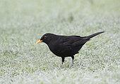 Blackbird (Turdus merula) on frosty garden lawn, Lindfield, West Sussex, England, UK. January