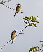 Blue-breasted Bee-eater (Merops variegatus) Loango National Park, Gabon.