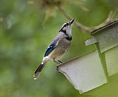 Blue Jay (Cyanocitta cristata) drinking from house gutter, Fort Myers, Florida, USA.