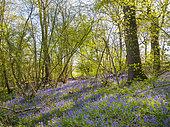 Common Bluebells (Hyacinthoides non-scripta) in ancient woodland, West Sussex, UK. April