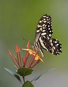 Citrus swallowtail or Christmas butterfly (Papilio demodocus) Gabon, central Africa
