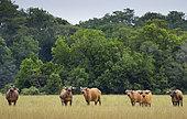 African forest or Dwarf Buffalo (Syncerus caffer nanus) Loango National Park, Gabon, central Africa.