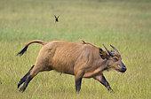African forest or Dwarf Buffalo (Syncerus caffer nanus) running, Loango National Park, Gabon, central Africa.