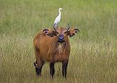 African Forest or Dwarf Buffalo (Syncerus caffer nanus) with Cattle Egret (Bubulcus ibis) on back, Loango National Park, Gabon, central Africa.