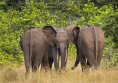 African forest elephant (Loxodonta cyclotis), Loango National Park, Gabon, central Africa.