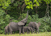 African forest elephant (Loxodonta cyclotis), using trunk to reach leaves on tree, Loango National Park, Gabon, central Africa.