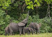 Éléphant de forêt africain (Loxodonta cyclotis), utilisant sa trompe pour atteindre les feuilles d'un arbre, Parc national de Loango, Gabon