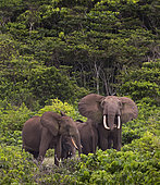 African forest elephant (Loxodonta cyclotis), family group in tight protective formation with more vulnerable young positioned in between the adults, Loango National Park, Gabon, central Africa.