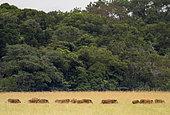 Red river hog (Potamochoerus porcus) group of twenty, Loango National Park, Gabon, central Africa.