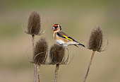 Goldfinch (Carduelis carduelis) on teasel, Rye Harbour nature reserve, Rye, East Sussex, UK