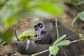 Western lowland Gorilla (Gorilla gorilla gorilla) with fruit, Loango National Park, Gabon, central Africa. Critically endangered.