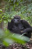Western lowland Gorilla (Gorilla gorilla gorilla) female feeding on fruit, Loango National Park, Gabon, central Africa. Critically endangered.