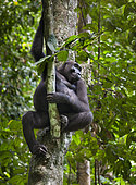 Western lowland Gorilla (Gorilla gorilla gorilla) in tree, Loango National Park, Gabon, central Africa. Critically endangered.