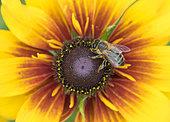 Honeybee (Apis mellifera) on Black-eyed Susan (Rudbeckia hirta) in garden, West Sussex, UK.