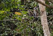 Moustached Monkey or Guenon (Cercopithecus cephus) Loango National Park, Gabon, central Africa