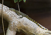 Ornate Monitor lizard (Varanus ornatus) Loango National Park, Gabon, central Africa.