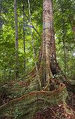 Buttress roots of rainforest tree, Loango National Park, Gabon.