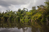Rattan palm growing along riverbank, Loango National Park, Gabon.