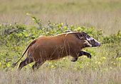 Red River Hog (Potamochoerus porcus) running, Loango National Park, Gabon, central Africa.