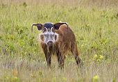 Red River Hog (Potamochoerus porcus) male, Loango National Park, Gabon, central Africa.