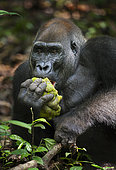 Western lowland Gorilla (Gorilla gorilla gorilla) silverback named Kamaya eating fruit, part of the Atanga group, Loango National Park, Gabon, central Africa. Critically endangered.