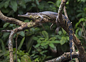 Central African slender-snouted Crocodile (Mecistops leptorhynchus) Mpivie river, Gabon, central Africa. Critically endangered