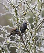 Etourneau sansonnet (Sturnus vulgaris) dans un pommier couvert de givre, West Sussex, Royaume-Uni.